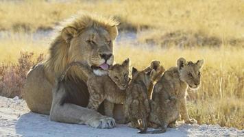 loewe, panthera leo, leone foto