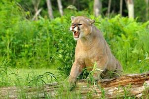 leone di montagna ringhiando. foto