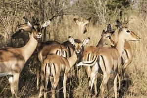 antilope impala foto