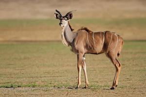 antilope kudu