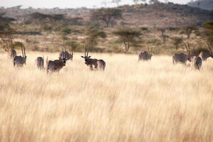 antilope di orice foto
