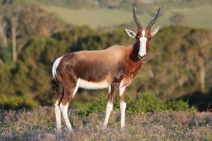 antilope bontebok foto
