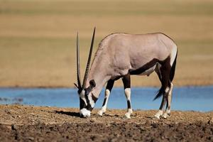antilope gemsbok foto