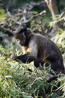 scimmia cappuccino foto