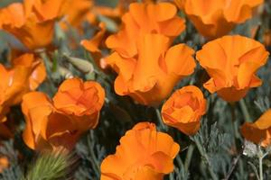 antelope valley poppy reserve, california, stati uniti d'america