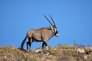 passeggiata gemsbok foto