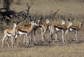 Springbok nel Kalahari foto