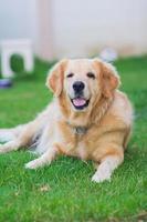 cane golden retriever sul verde foto