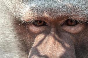 scimmia solitaria foto