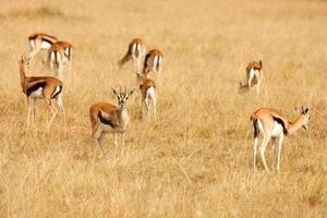 Gazzelle di Thomson che pascono sull'erba della savana africana foto