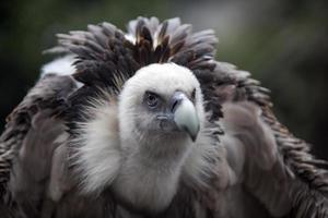 avvoltoio foto