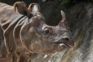 rinoceronte maggiore con un corno, rinoceronte indiano (rhinoce ros uni foto