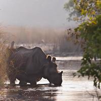 maggiore rinoceronte con una sola corna in bardia, nepal foto