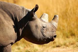 vista laterale di un animale rinoceronte africano adulto foto