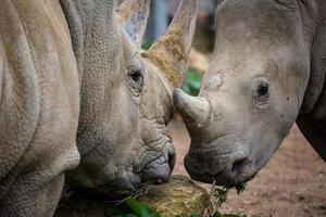 due rinoceronti bianchi