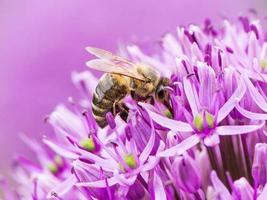 ape che raccoglie polline su un fiore di cipolla gigante foto