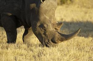 ritratto di un rinoceronte bianco nel parco nazionale Kruger foto