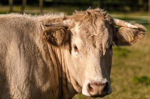 testa di mucca bionda foto