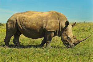 maschio bianco rinoceronte foto