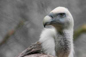 avvoltoio allo zoo artis di amsterdam