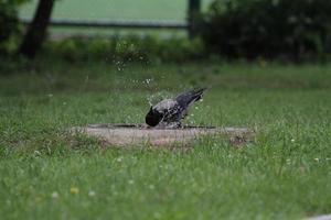 il corvo stava lavando foto
