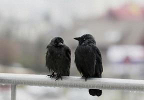 due corvi bagnati che si siedono sulla stilizzazione della pittura ad olio della ferrovia del balcone