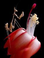 mantide sul fiore di cactus