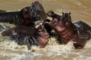 Ippopotami che combattono al fiume talek, parco nazionale masai mara, kenia foto