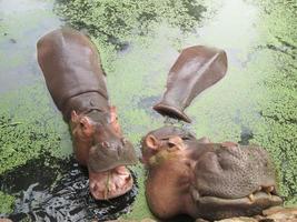 ritratto di ippopotamo nella natura foto