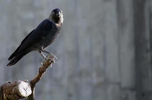 corvi su un ramo