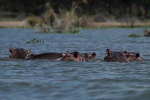 la famiglia di ippopotami foto