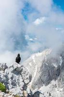 Gracchio alpino seduto su una roccia
