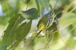 uccello comune di iora nel Nepal