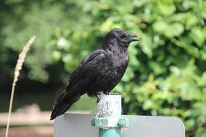 il corvo dall'aspetto senza spirito sta gridando foto