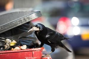 corvo che si nutre di immondizia in una città