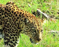 leopardo, masai mara, kenia foto