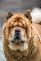 cane da guardia - chow-chow foto