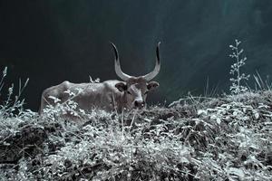 mucca al pascolo foto