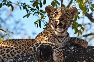 leopardo che riposa nella struttura ad albero foto
