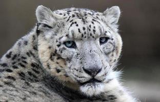 primo piano di un leopardo delle nevi foto