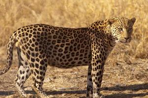 leopardo a Dusternbrook Guest Farm, Namibia foto