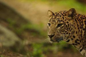 femmina del leopardo foto