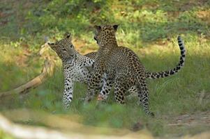 gioca a combattere i leopardi foto