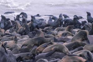 Colonia di foche (arctocephalus pusillus) nella croce del capo. namibia foto