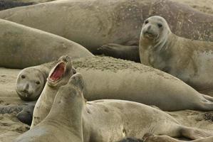 elefanti marini foto