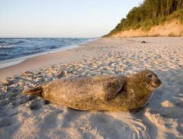foca comune in riva al mare baltico