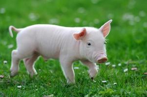 giovane maiale