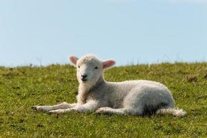 agnello sdraiato sull'erba foto