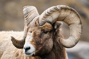 montagna rocciosa grandi pecore cornute foto