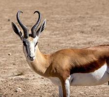 Ritratto di antidorcas marsupialis dell'antilope saltante foto